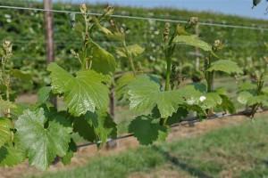 Chardonnay Hush Heath Kent 30/4/11