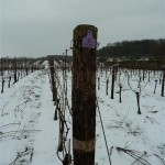 Pinot Meunier pruned leaving 4 canes Feb 8th 2012